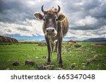 cow grazing in the pasture... | Shutterstock . vector #665347048