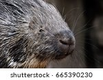 Portrait Of Porcupine  Hystrix