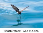 Small Storm Petrel Bird Is...