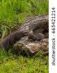 Small photo of Adult American Mink (Neovison vison) Checks on Kit - captive animals