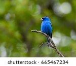indigo bunting | Shutterstock . vector #665467234