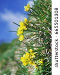 Small photo of Draba aizoides on a vertical alpine cliff. It is commonly known as yellow whitlow-grass.