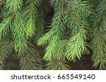 spruce branches | Shutterstock . vector #665549140