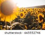 Sunflowers Field Close Up View - Fine Art prints