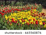 Red And Yellow Tulips Under Th...