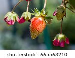 strawberries forming and...   Shutterstock . vector #665563210