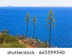 Agave Plants Against Blue Sea...
