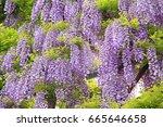 purple wisteria at ashikaga...   Shutterstock . vector #665646658