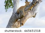 Leopard Resting In Tree After...
