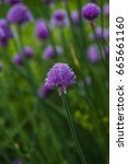 Small photo of flowering Chives (Allium schoenoprasum). summer garden.