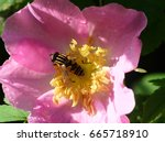 Hoverfly On A Flower Of A...