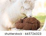 natural color alpacas wool yarn ... | Shutterstock . vector #665726323