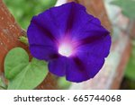 Purple Morning Glory Blossom O...