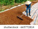 harvesting coffee berries by...   Shutterstock . vector #665772814