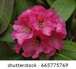 truss of deep pink rhododendron ... | Shutterstock . vector #665775769