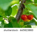 cherries hanging on cherry tree  | Shutterstock . vector #665823883
