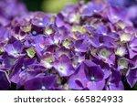 purple hydrangea flower... | Shutterstock . vector #665824933