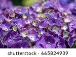 purple hydrangea flower... | Shutterstock . vector #665824939