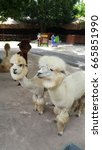 Small photo of Alpaca at Alpaca Hill in Thailand. White alpaca and brown alpaca is it gaze.