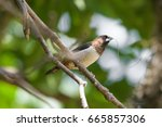 white rumped munia | Shutterstock . vector #665857306