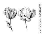 Tulip Hand drawn botanical art isolated on white background. Floral illustration. Flowers drawing vector illustration and line art.