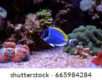 Small photo of Powder Blue Tang (Acanthurus leucosternon)