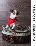 jack russell terrier in brown...   Shutterstock . vector #666034663