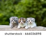 Stock photo scottish fold beautiful kitten on timber over blur green forest background eyes looking for 666036898