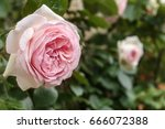blooming rosa 'eden' also known ... | Shutterstock . vector #666072388