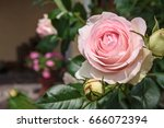 blooming rosa 'eden' also known ... | Shutterstock . vector #666072394