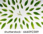 healthy light green tea leaves... | Shutterstock . vector #666092389