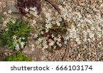 Flower Head Of Saxifraga...