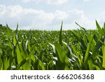 Growing Green Corn Field With...