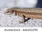 Small photo of The viviparous lizard or common lizard. Macro viev. Zootoca vivipara. Lizard on a wooden board. Reptile animal.