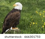 Bald  Eagle Famous For Being...