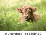 Highland Cattle Calf Lying In...