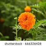 American Marigold Flowers Are...