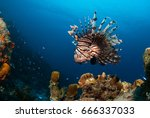 The Red Lionfish Is An Invasiv...