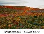 California Golden Poppies At...
