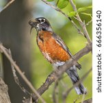 Small photo of American robin (Turdus migratorius) collecting mud and grass for the nest, Ames, Iowa, USA.