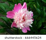 pink peony flowers close up   Shutterstock . vector #666445624