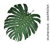 monstera tropical leaf isolated ... | Shutterstock . vector #666496564