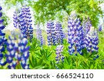 fresh blossoming lupines in... | Shutterstock . vector #666524110