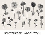 dahlias set. botanical vector... | Shutterstock .eps vector #666529993