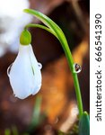 Small photo of White Galanthus flower in early spring