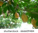 Small photo of Akee - A Special fruit on Jamaika