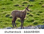 Chamois Male  Rupicapra...