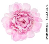 pink peony flower isolated on... | Shutterstock . vector #666653878