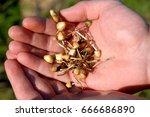 hallucinogenic mushrooms | Shutterstock . vector #666686890