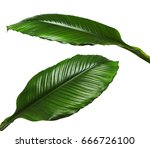 Large Leaves Of Spathiphyllum...